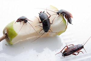 среда обитания тараканов