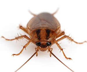 Тараканы описание