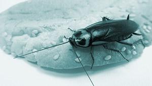 Тараканы польза и вред